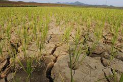 Sequía reduce la producción de arroz en SJM