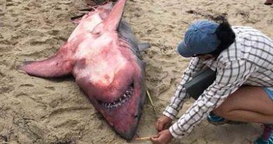 Desconcierto científico: Hallan muerto a tiburón con el cuerpo rojo y pesas en su interior