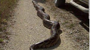 Entrada serpientes pitón está prohibida en el país