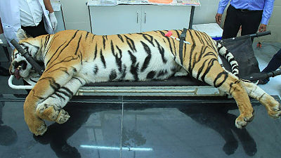 """Abatida una tigresa de una """"inteligencia inusual"""" tras dos años matando humanos en la India"""