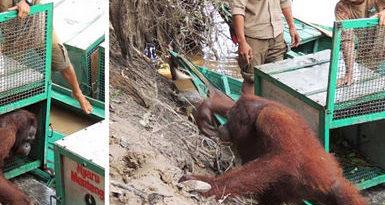 Indonesia: La increíble recuperación de una orangutana abusada sexualmente en un burdel (FOTO)