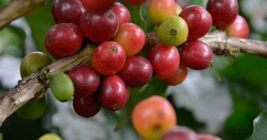 El café dominicano, con gran potencial de internacionalización