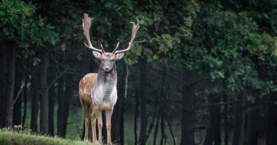 Alertan que la enfermedad del ciervo 'zombi' podría propagarse a los humanos