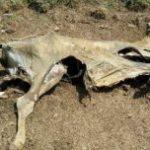 7 VACAS FLACAS POR EFECTO ZAHARA : Sequía ganado y agricultura en Puerto Plata