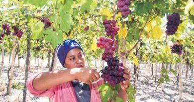 EXCELENTE TRABAJO! Las uvas de mesa impulsan la economía de Neiba, provincia Bahoruco