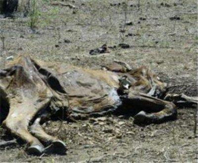 """Las vacas linieras """"en vez de leche dan pena"""" por falta de agua y comida"""
