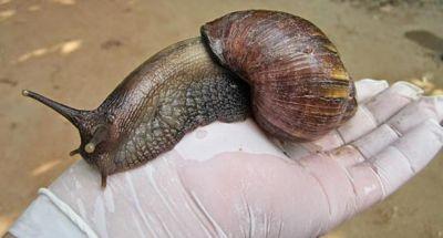 Alertan sobre presencia de caracol gigante africano en Bávaro