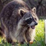 Dominicanos temerosos por mapaches con rabia en parque del Alto Manhattan