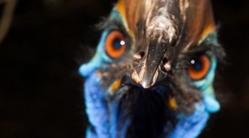"""ALERTA : Ejemplar del ave """"más peligrosa del mundo"""" mata a su dueño en Florida"""
