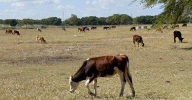 ALERTA ; Detectan brucelosis y tuberculosis bovina en el Cibao y la Línea