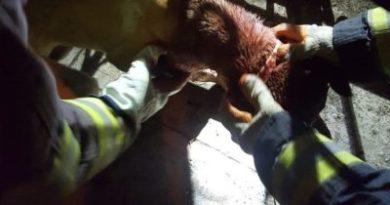 EN BUENA HORA: Bomberos de Baní rescataron a un perro atrapado en portón