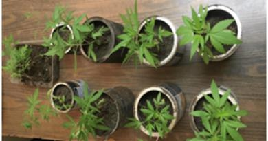 DICAN encuentra 34 matas de marihuana en solar baldío de Mao