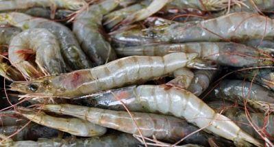 Ministerio Público dice decomisó 357 libras de langosta y cangrejo