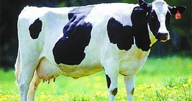 Vaca mata a su propio dueño