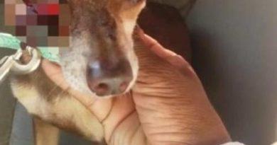 Presentan querella contra hombre acusado de sacarle ojo perrito chihuahua en Puerto Plata