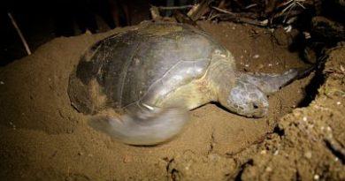 Tortuga Jaira regresa anidar a las arenas de Guibia tras seis años de ausencia