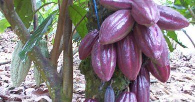 Ministerio de Agricultura declara zonas cacaoteras en Regionales Sur y Noroeste