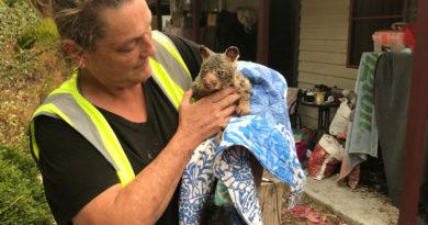Australia empleará decenas de millones de dólares en recuperar la población de koalas tras los incendios