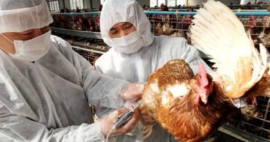 Los avicultores pierden RD$500 millones por virus