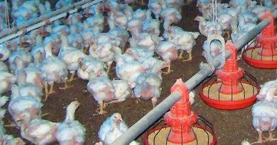 Agricultura apoyará a productores de pollo ante brote enfermedad de Newcastle