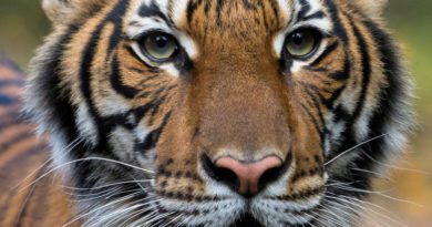 Cuatro tigres y tres leones dan positivo para covid-19 en el zoo de Nueva York donde una tigresa fue infectada por un empleado