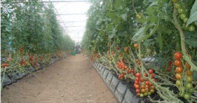 Un millón 500 mil libras de vegetales se pierden en Ocoa en medio de la crisis