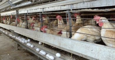 RD produce 4,629 huevos por minuto para abastecer durante crisis del coronavirus