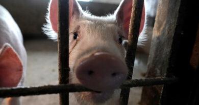Granjeros de EE.UU. tienen que sacrificar 700.000 cerdos sanos por semana debido a la pandemia de coronavirus