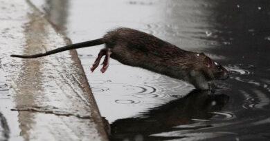 Advierten sobre un comportamiento inusualmente violento de las ratas durante la pandemia en EE.UU.