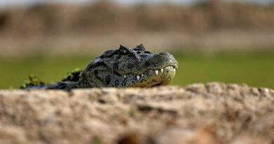 Un caimán de casi tres metros ataca a un adolescente en Florida