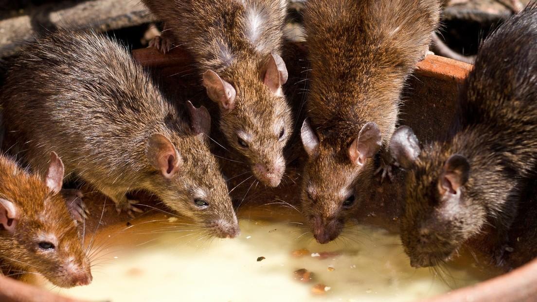 La pandemia provoca que las ratas practiquen canibalismo y entren en las casas a través de las tuberías en busca de comida