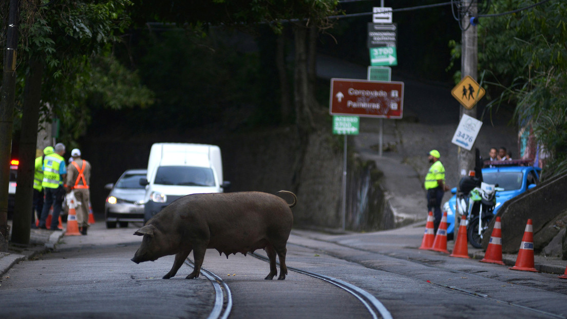 ALERTA:Una nueva gripe porcina con potencial de convertirse en pandemia pone en alerta a Brasil