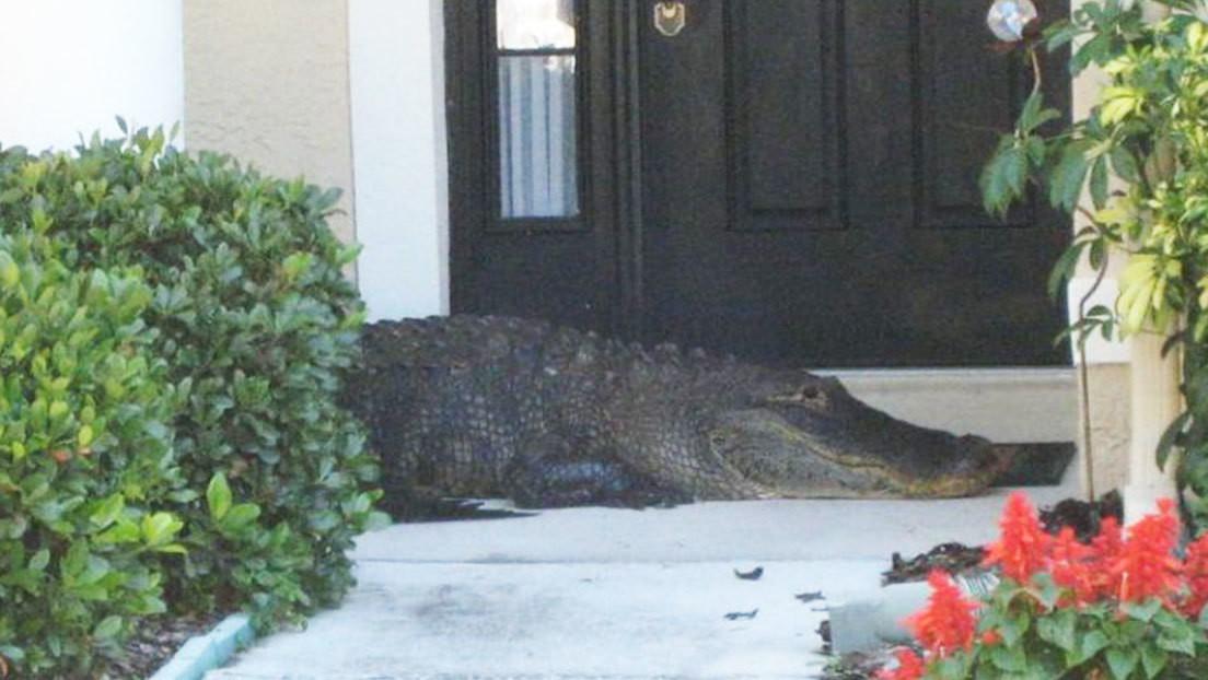 Una familia encuentra un caimán sin dos extremidades en la puerta de su casa en Florida