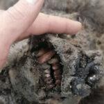 Descubren en Siberia el primer cuerpo de un oso extinto hace 15.000 años, completamente conservado