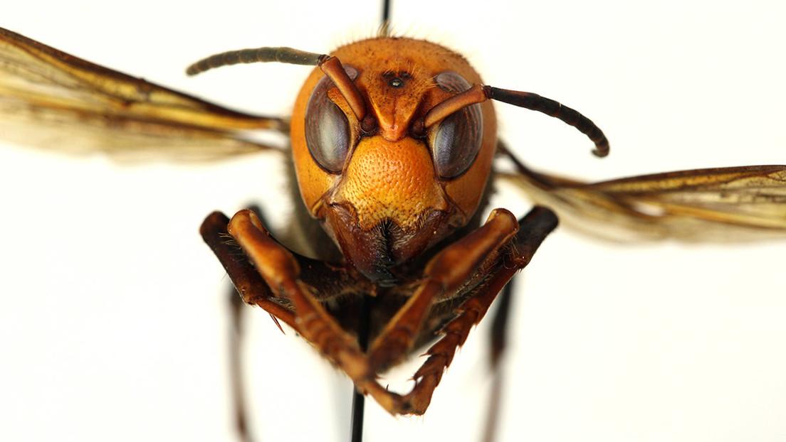 ALERTA:Predicen la posible área de acción del avispón asiático 'asesino', que ya se ha introducido en EE.UU. y Canadá
