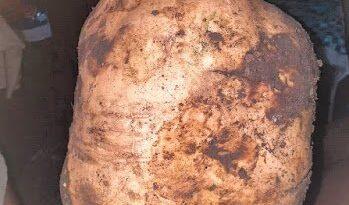 VIRAL: Cosechan batata de diez libras en Bohechío, San Juan