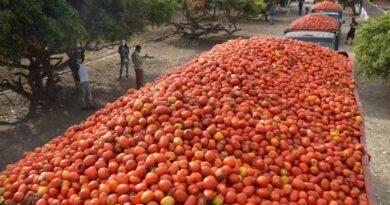 Los productores de tomate estiman cosecharán 5 millones de quintales
