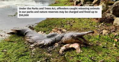 Ilegal para liberar animales en las aguas de S'pore: PUB & NParks después de que el cadáver de un cocodrilo fue arrastrado a tierra en MacRitchie