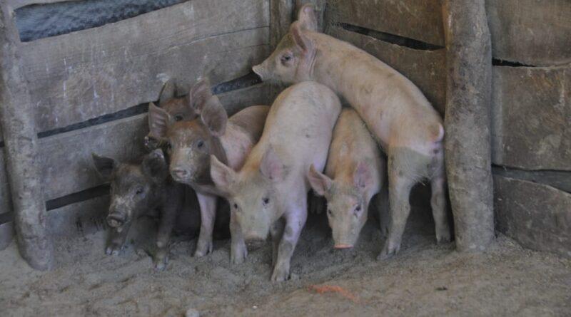 Ministro Limber Cruz inicia jornada de vacunación a 300 mil cerdos contra la Fiebre Porcina Clásica