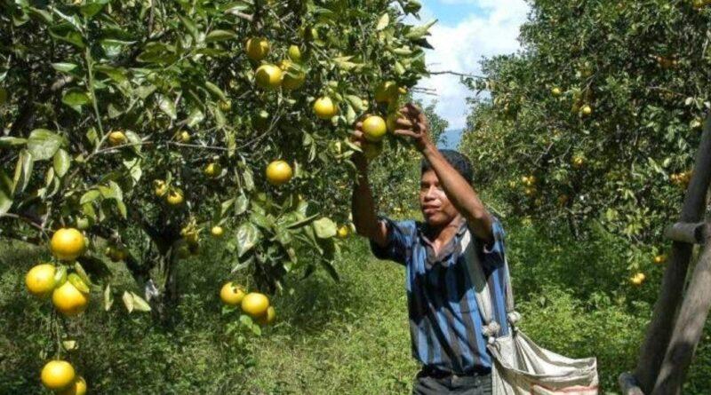 Las plagas reducen la capacidad productiva del sector agrícola