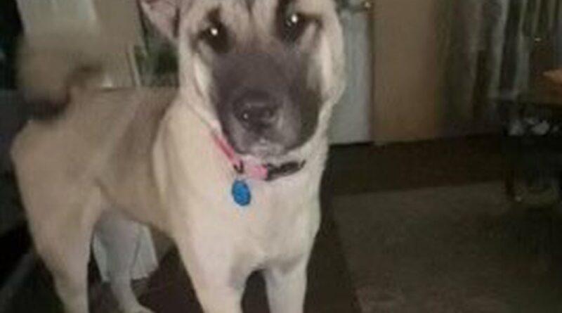 Perro desaparecido después de que una mujer embarazada le disparara en la espalda en el lado sur de Syracuse, dice la policía