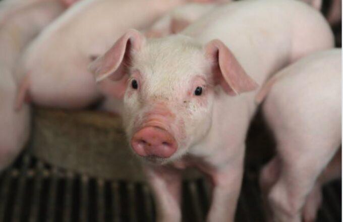 Dirección de Ganadería mantiene vigilancia sobre enfermedades en cerdos