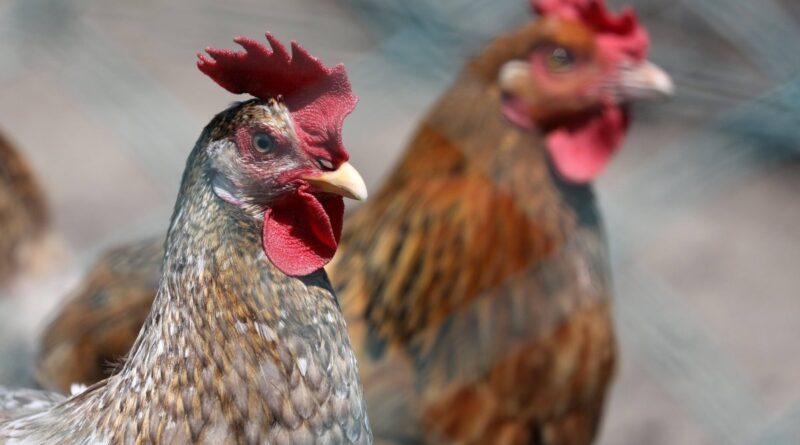 VARIANTE DE VIRUS: La variante de la gripe aviar H10N3 detectada en humanos por primera vez