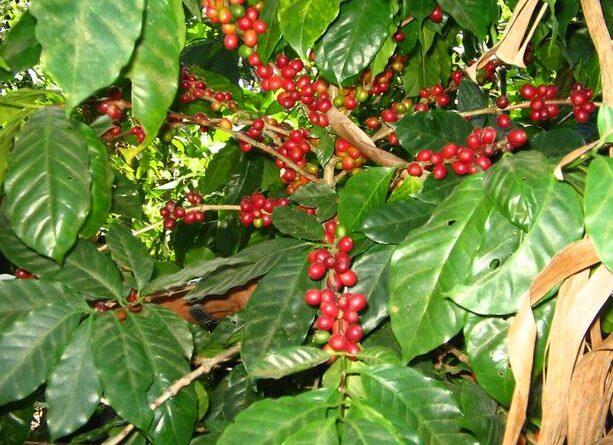 Los precios del café se disparan y amenazan con impactar al consumidor