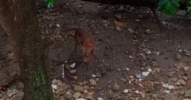 Denuncian maltrato de perro Pitbull en Boca Chica