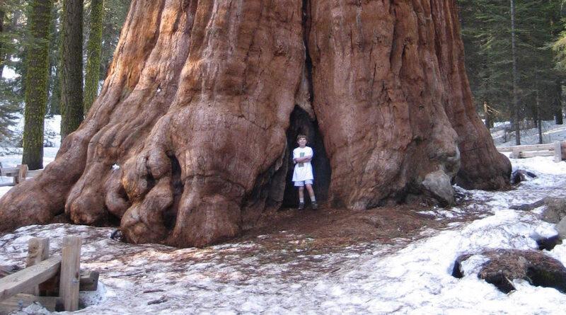 Protegen al árbol más grande del mundo con una manta resistente al fuego en medio de un incendio forestal en California