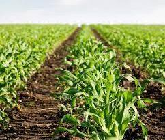 Agricultura busca disminuir costos en sector avícola y porcino con siembra de 30 mil tareas de maíz